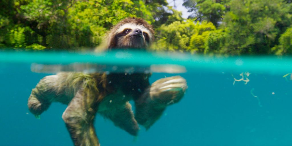 A pygmy sloth featured in Planet Earth 2 in 4k exclusively for DISH customers
